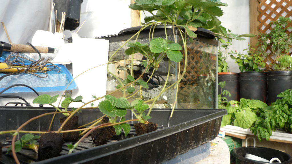 Cloning aquaponic or hydroponic strawberry plants by for Garden pool dennis mcclung