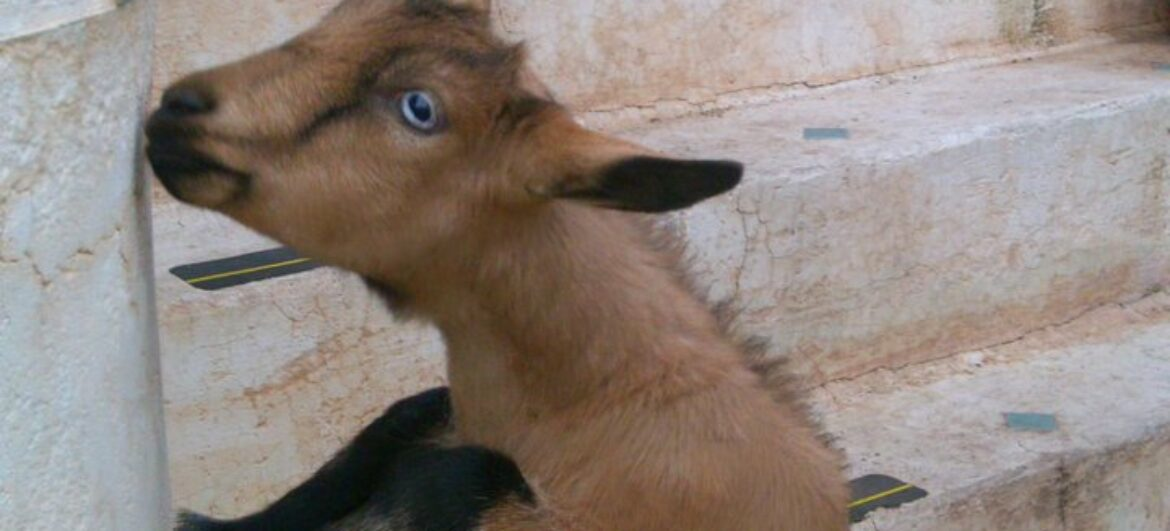Raising Dairy Goats In The City – Garden Pool