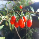 Ripe Goji Berries grown at the Garden Pool.
