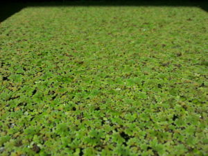 How to grow duckweed and azolla garden pool for Raising tilapia in a pool